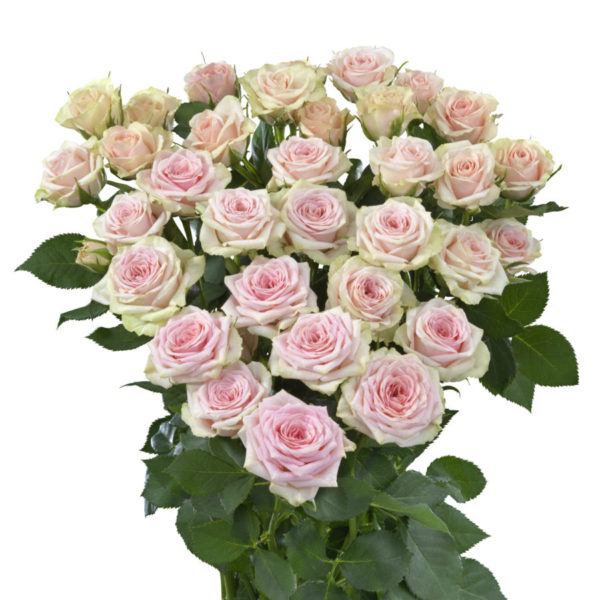 Severina spray rose Interplant