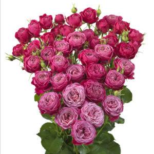 Trendsetter rose of Interplant