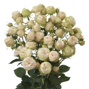 Galina spray rose by breeder Interplant